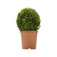 """BC_Echtpflanze """"Buchsbaum"""" März_2019"""