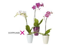 "BC_Echtpflanze ""Phalenopsis""_Dez. 19"