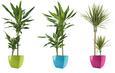 Echtpflanze Draceana ohne Übertopf - Grün, KONVENTIONELL (90-100cm)
