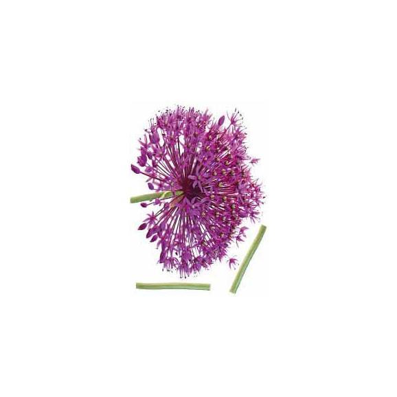 Dekosticker Onion Flower Violett - Multicolor, Kunststoff (50/70cm) - Mömax modern living
