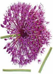 Fali Dekoráció Hagymavirág - viola/zöld, műanyag (50/70cm) - MÖMAX modern living