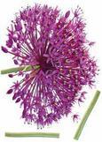 Wanddeko Onion Flower in Violett - Violett/Grün, Kunststoff (50/70cm) - MÖMAX modern living
