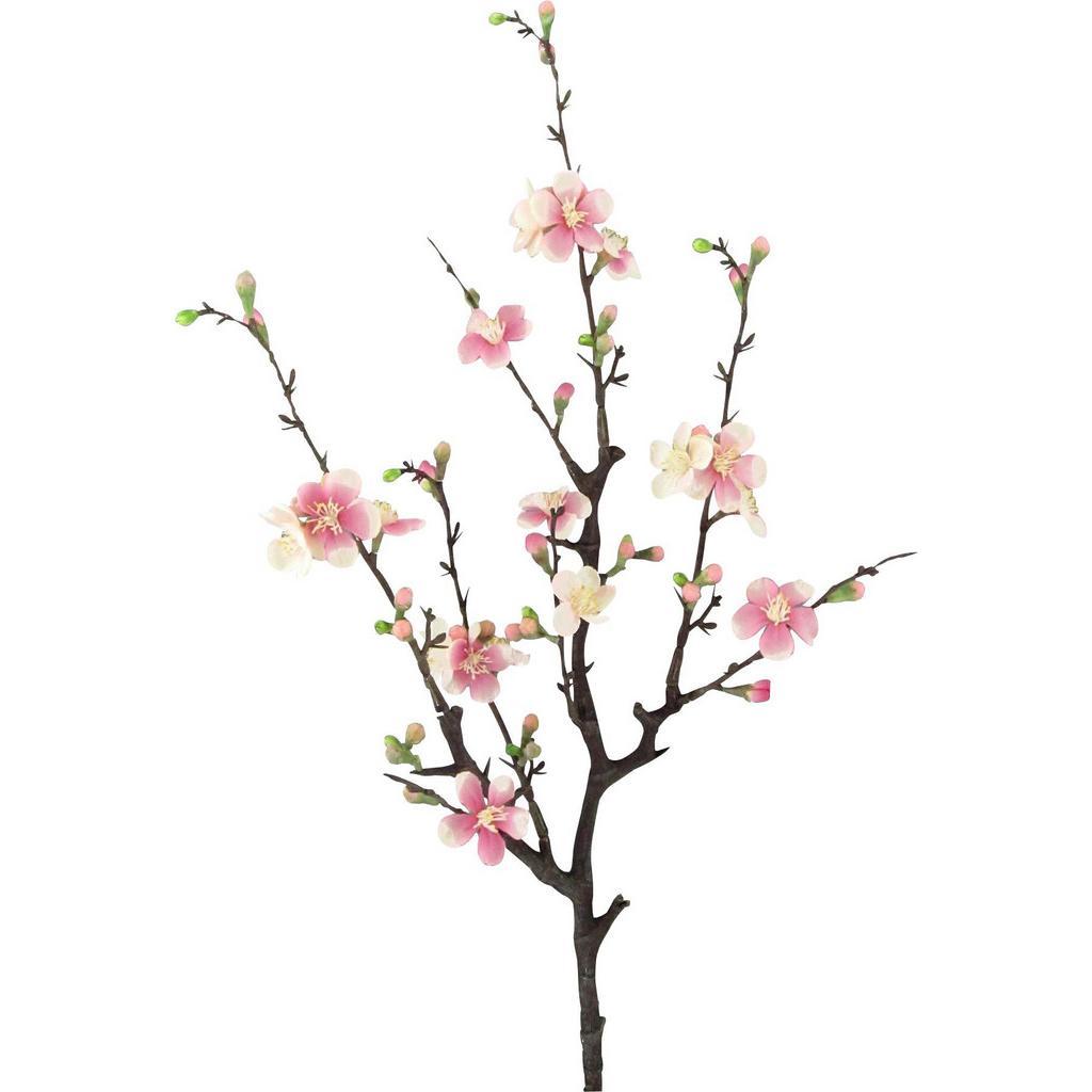 Okrasna Veja Quittenzweig Cherry