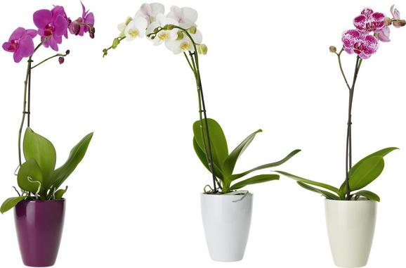 Orchidee Phalenopsis Ohe Übertopf - Multicolor, Weitere Naturmaterialien (58-65cm) - Mömax modern living