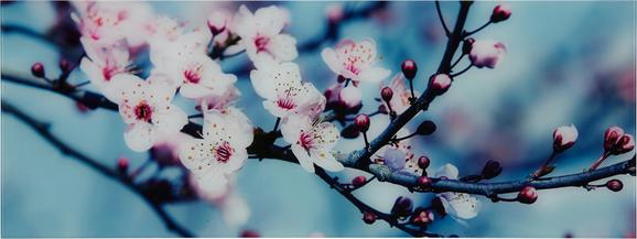 Glasbild Blossom IIi, ca. 30x80x2cm - Multicolor, MODERN, Glas (30/80/2cm) - MÖMAX modern living