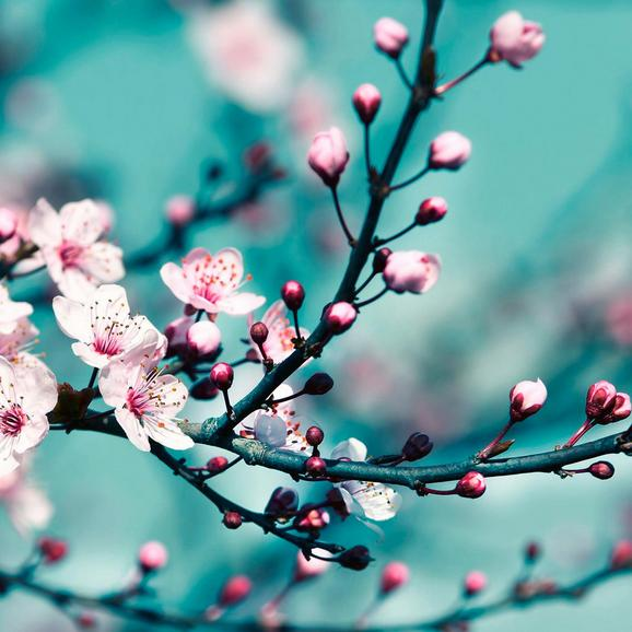 Üvegkép Virágzó Gyümölcsfaág - türkiz/rózsaszín, modern, üveg (30/30/2cm) - MÖMAX modern living