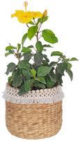 Cvetlični Lonček Jimmy - naravna/bela, les (22/20cm) - Mömax modern living