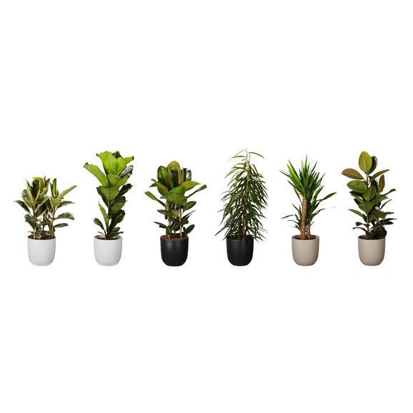 Echtpflanze Grünpflanze 5-fach sortiert - Grün, Basics, Kunststoff (21-24/120-140cm)